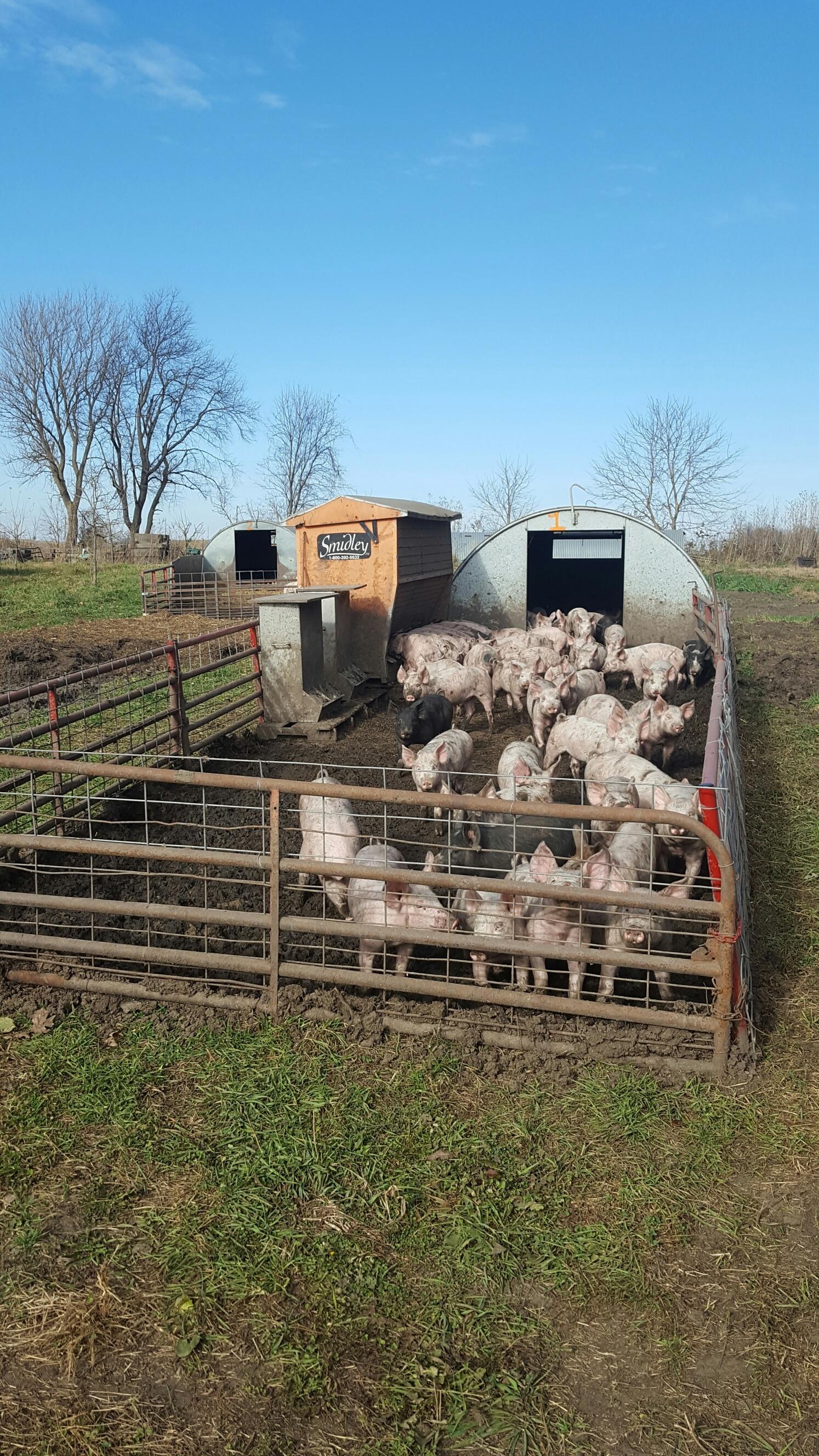 Hogs.jpg#asset:1023